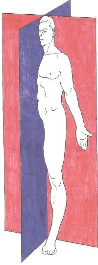 הציר המרכזי - מפגש המישורים החוצים של הגוף
